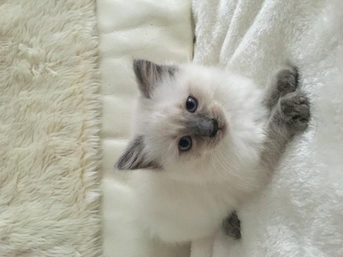 Stunning ragdoll kittens for sale