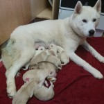 Mixed litter of husky puppies
