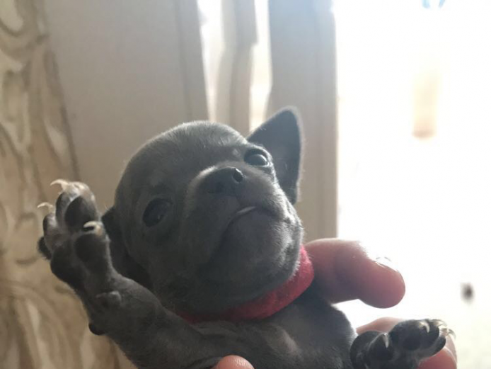 Rare blue chihuahua puppies