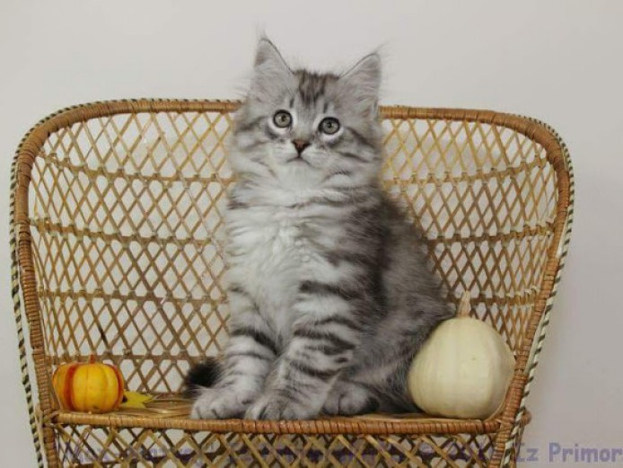 Pedigree Russian Silver Siberian Kitten