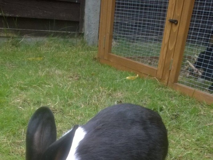 Black and white male and female rabbits for sale