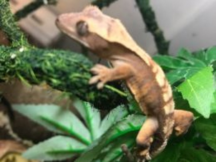 Crested gecko hatchlings (captive bred - 4 available)