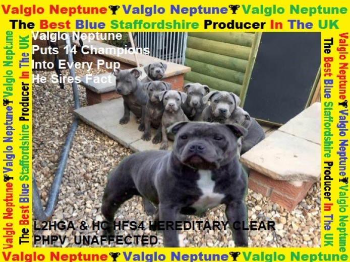 Valglo Neptune The No1 Blue Valglo Stud In Europe