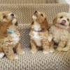 Pets  - Beautiful Litter of Cavapoochon Puppies
