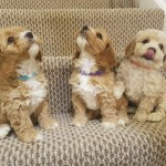 Beautiful Litter of Cavapoochon Puppies