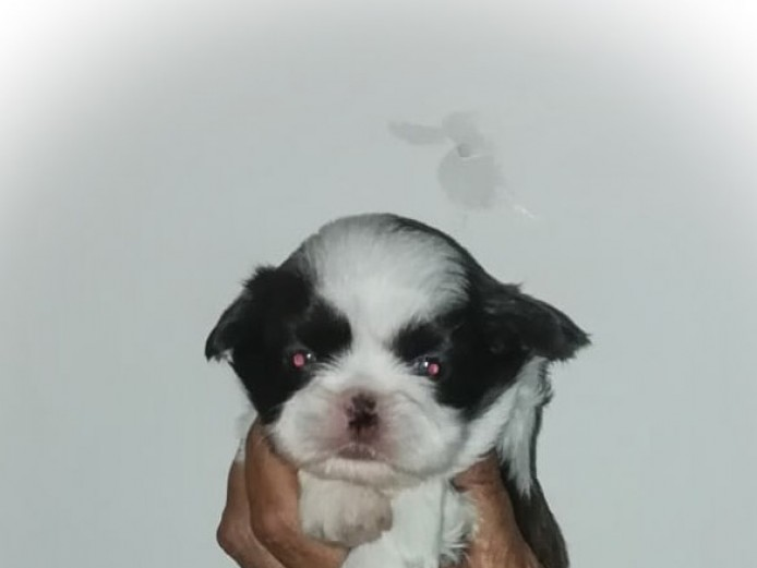 imperial pure bred shih tzu baby furballs