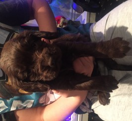 Beautiful K.C reg cocker spaniel Pupies