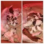 Morkie pups (Maltese x yorkie)