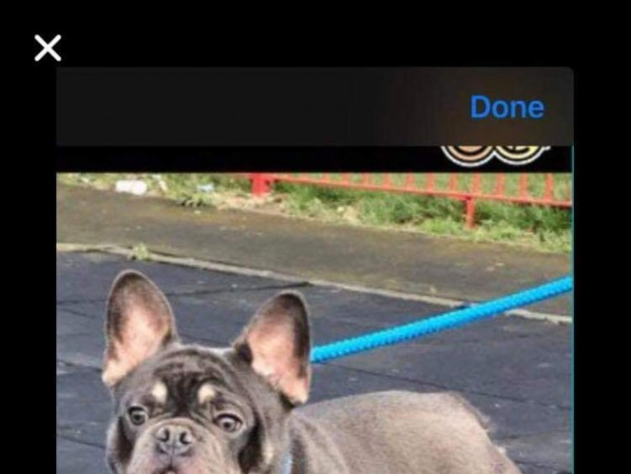 French bulldog pups for sale
