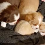 3 Pekingese puppies girls for sale