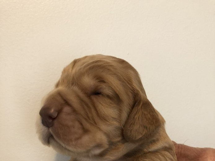 working cocker spaniel boys for sale