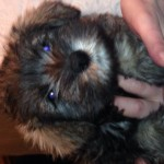 Miniature schnauzer girls for sale