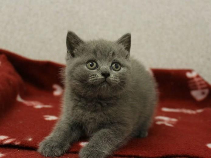 GCCF Blue British Shorthair Kittens for Sale