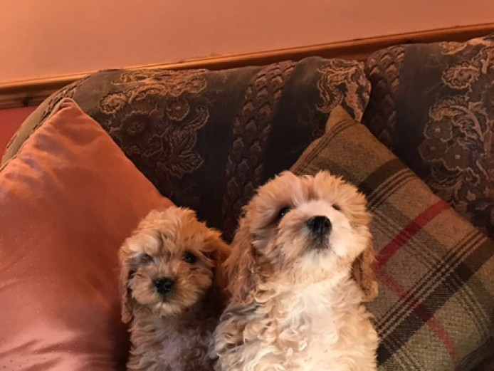 Adorable F1 Cockapoo Puppies