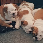 Beautiful British bulldog puppies
