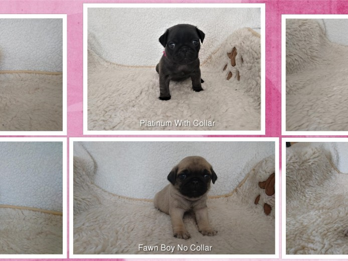 Gorgeous KC Pug Puppies, Platinum, Fawn & Black