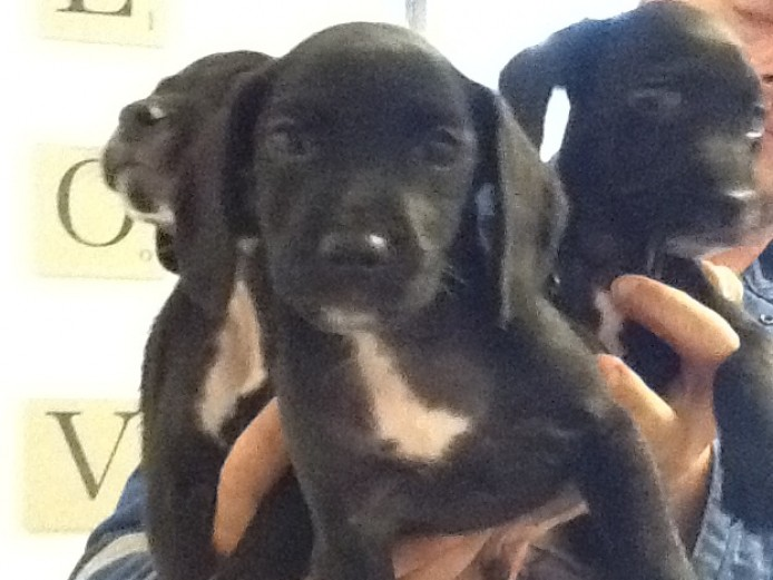 Cockerjack pups for sale.