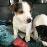 Beautiful Patterjack Puppies ***Ready NOW***