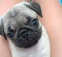 KC Registered Black and Fawn Pug Puppies For Sale.