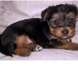 Beautiful Yorkie puppy for sale