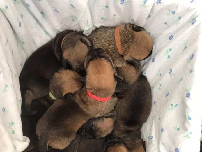 Mixed mastiff puppies