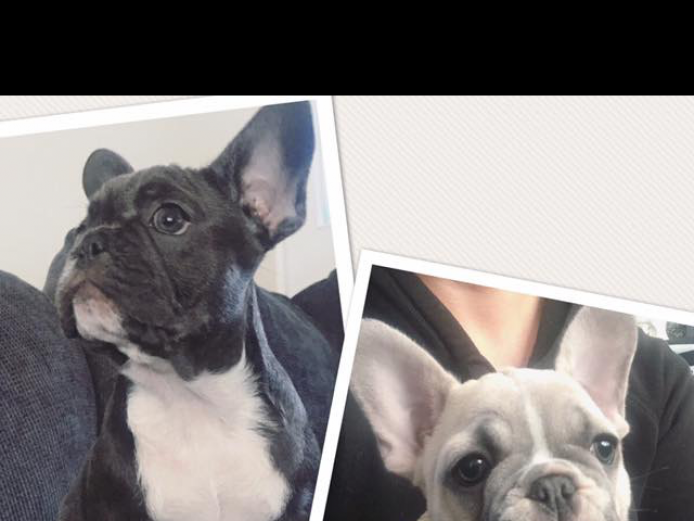 Stunning quality french bulldog pups