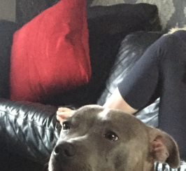 Blue Staffordshire bull terrier pups