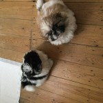 Shih Tzu X Pekingese puppies