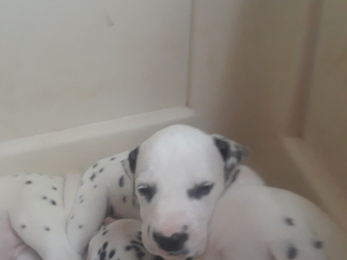 Kc Reg Baer Hearing Tested Dalmatian Puppies