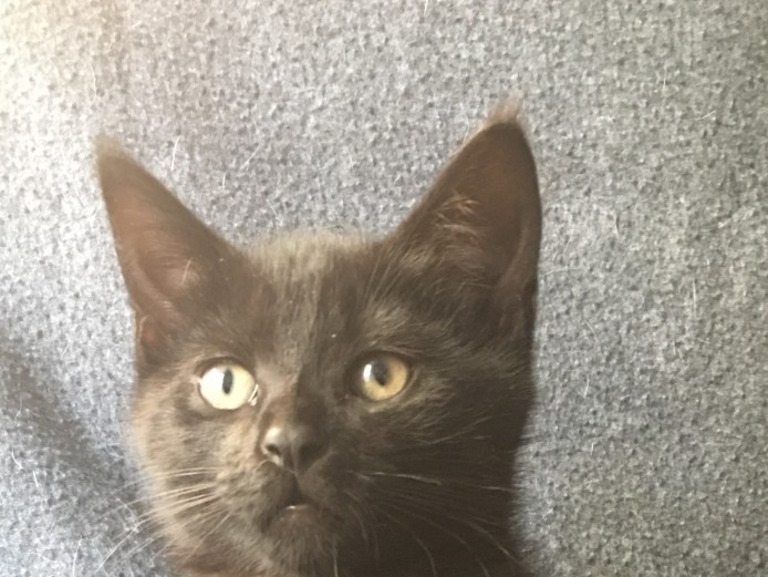 Stunning Pixie Bob cross kittens for sale