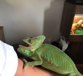 Chameleon and full set up