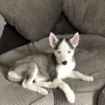 Female Siberian husky 11 weeks old