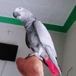 funny african grey bird