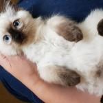 Outstanding GCCF registered Ragdoll kittens