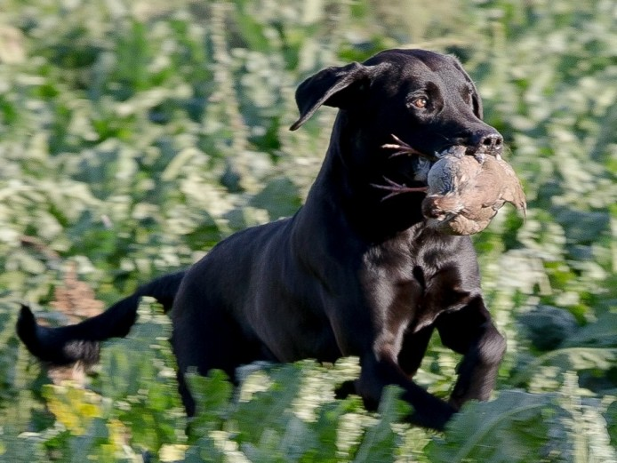 KC reg black Labradors puppies