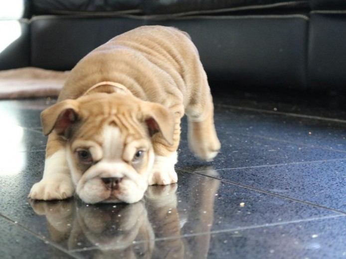 Stunning English bulldog females available