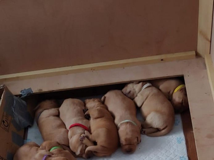 Kc registered fox red labrador puppies