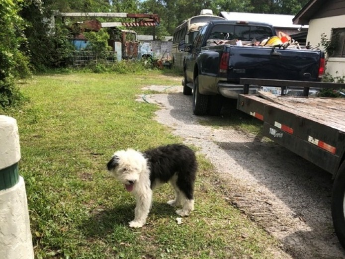 Exceptional Old English Sheepdog Dog Puppies