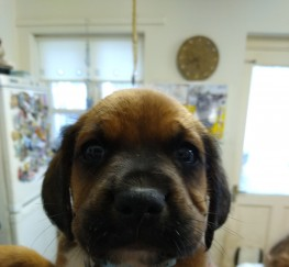 Pets  - Boxer cross sprocker puppies for sale