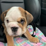 English bulldog puppies £2000 open to offers
