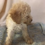 GORGEOUS, LOWSHEDDING  TOY POODLE CROSS   PUPPIES