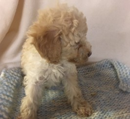 GORGEOUS, LOWSHEDDING  TOY POODLE CROSS   PUPPIES  FULLY VACCINATED