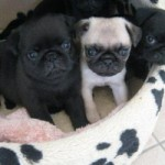 3 Pug Puppies Left For Sale Pedigree