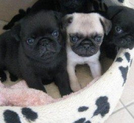 3 Pug Puppies Left For Sale Pedigree