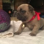 Chunky 10 weeks old French Bulldog Puppies