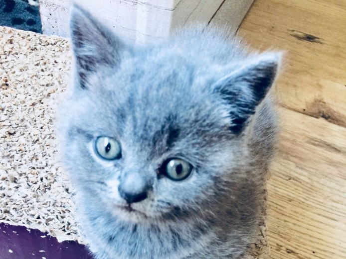 British Blue Shorthair Kittens