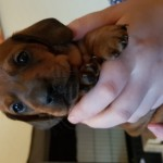 Miniature Dachshund girl for sale