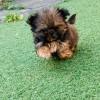 Pets  - Karashishi Shih Tzu puppies