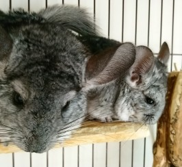 Baby Male And Female Chinchilla - Standard Grey