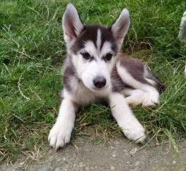 Pets  - Husky Puppies for sale